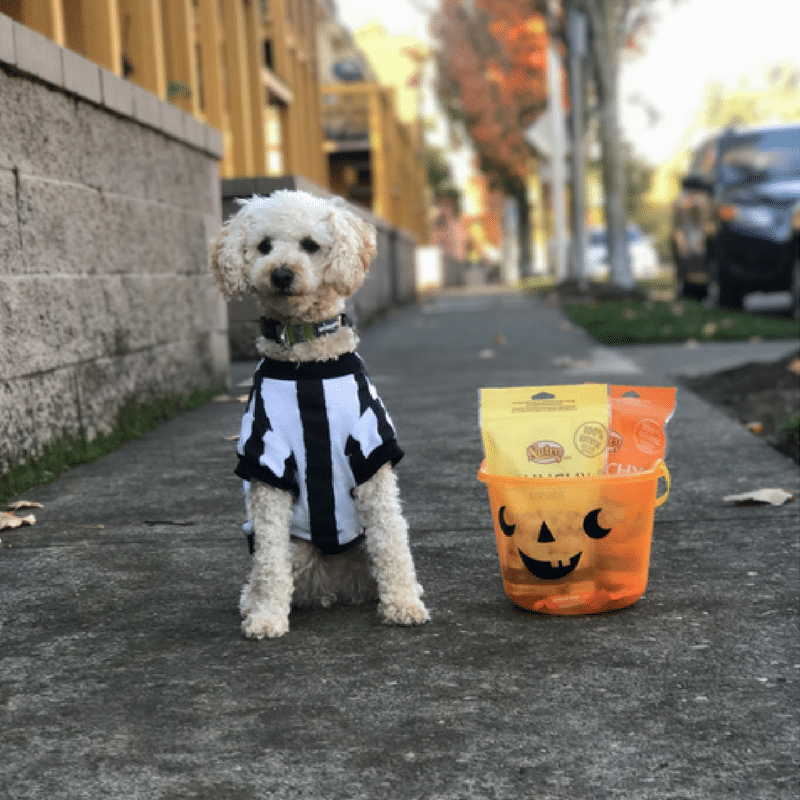 Rufferee Bentley on Halloween