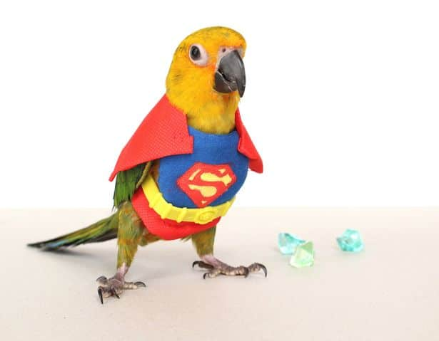 Bird dressed up as superman