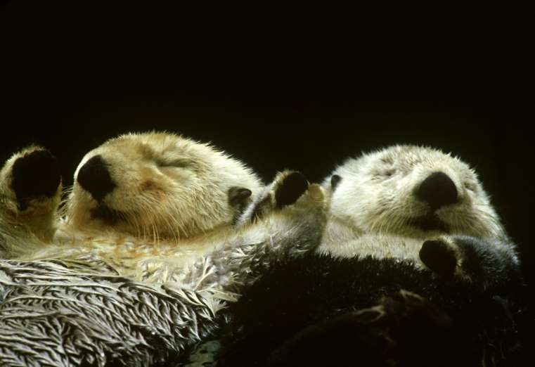 otters holding paws