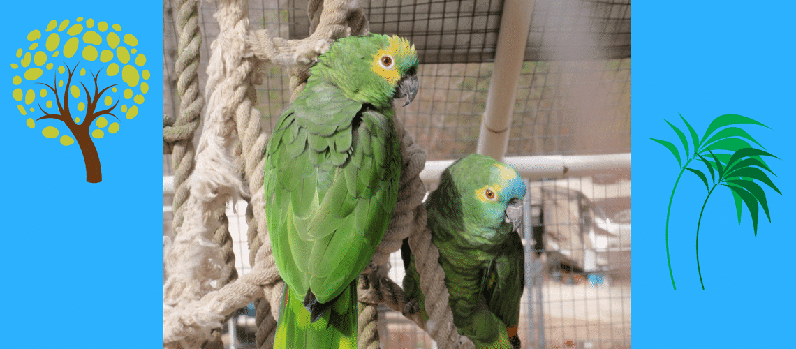 Blue-Fronted Amazon Parrot, import bird