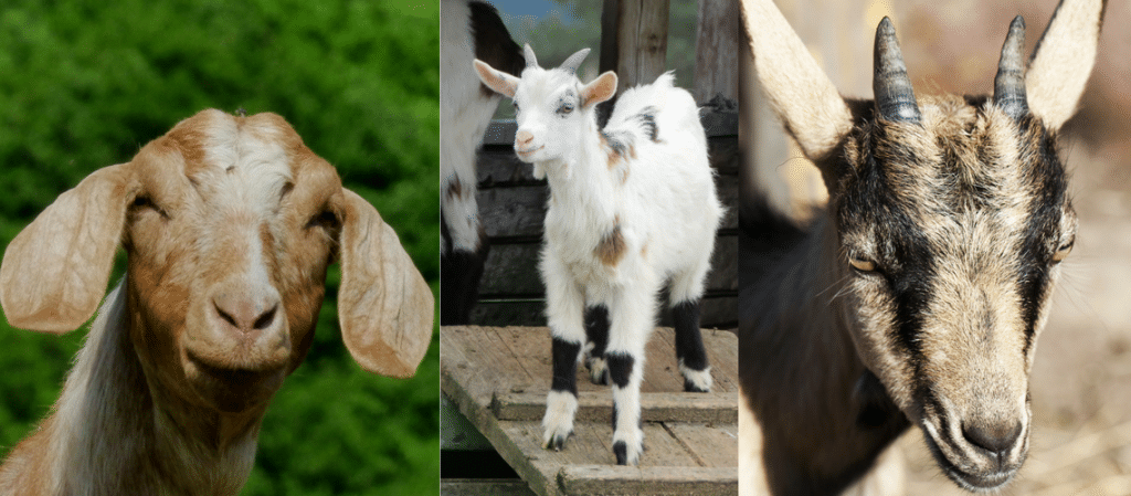 Goats did you know?