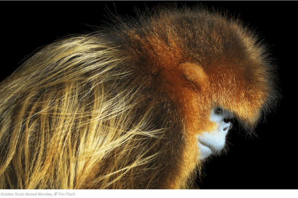 golden_snub_nosed_monkey_c_Tim_Flach