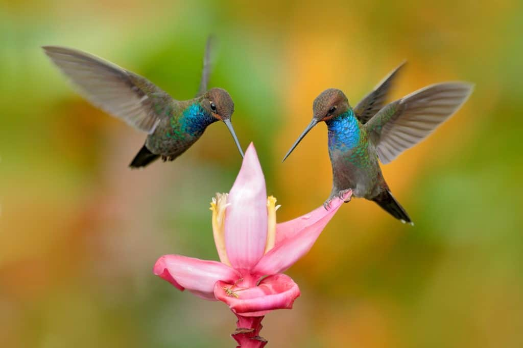 Hummingbirds hovering and eating