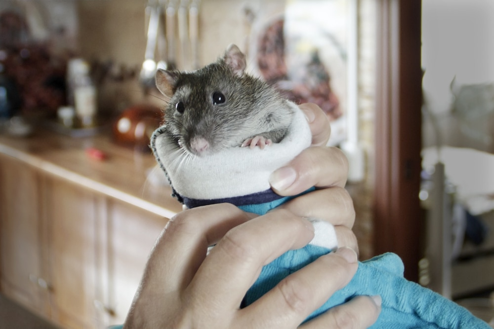 rat being held in hand